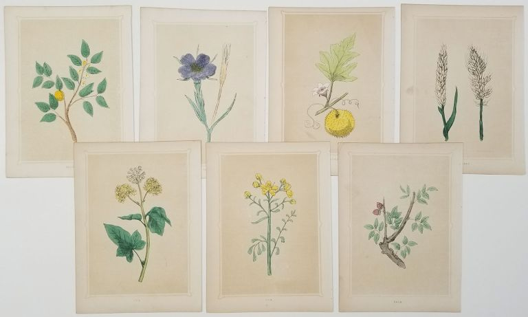 GROUP OF SEVEN HANDCOLORED BOTANICALS - 1856 - Ivy. Ebony. Rue. Corn Cockle. Gourd. Wheat. Balm. HANDCOLOR, Rev. Francis Orpen Morris.