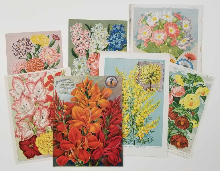 Chromolithographs from 19th century seed catalogs: The Mayflower and another title. FLOWERS CHROMOLITHOGRAPHS LATE 1800s.
