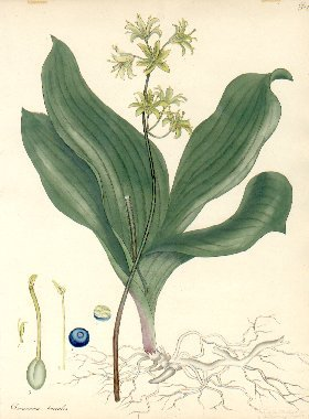 "Individual hand-colored etching from ""The Botanist's Repository, Comprising Colour'd Engravings..."