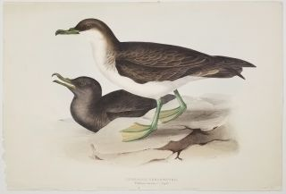 Cinereous Shearwater. Puffinus cinereus? (Steph).