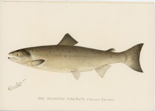 The Atlantic Salmon. (Salmo Salar.). DENTON - FISH