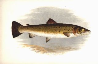 Bull Trout.