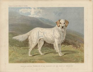 "English Setter, ""Ranger III"", The Property of the Revd. J.C. Macdona. SETTER"