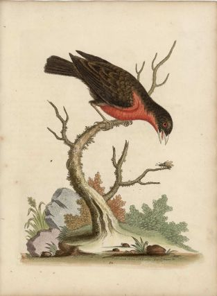 The Greater Bull-Finch. EDWARDS - EIGHTEENTH CENTURY COPPERPLATE ENGRAVINGS