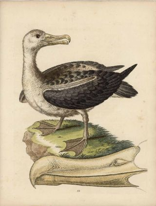 Albatross. EDWARDS - 18th CENTURY BIRD ENGRAVING
