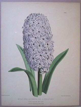 Hyacinth. Duchess of Connaught