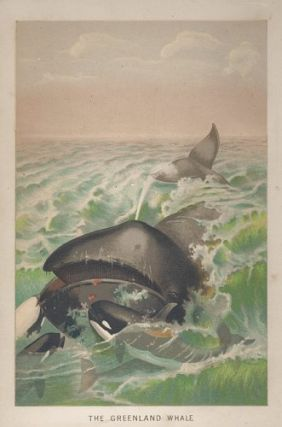The Greenland Whale. CHROMOLITHOGRAPH.