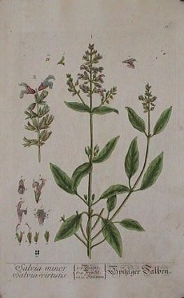 Salvia minor. Salvia virtutis (from A Curious Herbal). EIGHTEENTH CENTURY hand colored botanical engraving.
