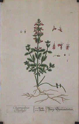 Chamaedrys. Trissago (from A Curious Herbal). EIGHTEENTH CENTURY hand colored botanical engraving.