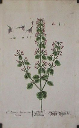 Calamentha montana (from A Curious Herbal). EIGHTEENTH CENTURY hand colored botanical engraving.