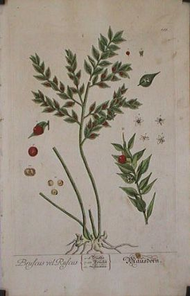 Bruscus Ruscus (from A Curious Herbal). EIGHTEENTH CENTURY hand colored botanical engraving