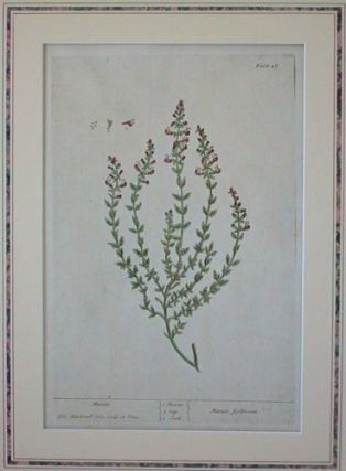 Marum (from A Curious Herbal). EIGHTEENTH CENTURY hand colored botanical engraving.
