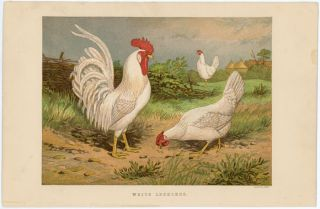 WHITE LEGHORNS. TEGETMEIER -- COLOR WOOD-ENGRAVINGS