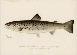 Female Land Locked Salmon or Quananiche. (Salmo Salar Sebago. Girard.). DENTON - FISH