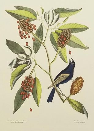 Magnolia Lauri folio, Subtus Albicante. The Sweet Flowring Bay. Coccothraustes coerulens. The...