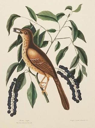 Turdus ruffus. The fox coloured Thrush. Ceraso similis arbusculo &c