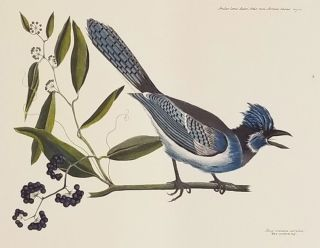 Pica cristata coerulea. The crested Jay