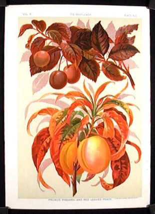 Prunus Pissardi and Red Leaved Peach. FRUIT - PEACH
