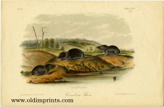 Carolina Shrew. AUDUBON