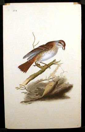 Lanius Collurio. Red - Backed Butcher Bird