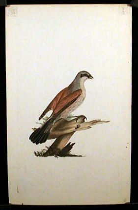 Lanius Collurio. Red - Backed Shrike, Butcher Bird, or Flusher