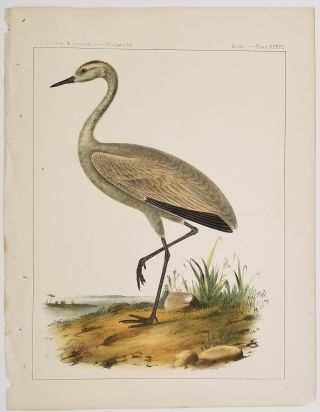 Grus Fraterculus, Cassin. Little Crane.[Vintage Pacific Railroad Survey Lithograph]. CRANE