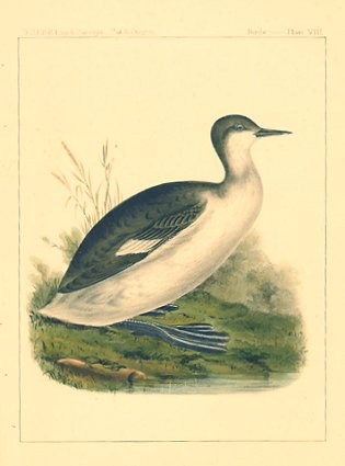 Podiceps Californicus. Young California Grebe.[Vintage Pacific Railroad Survey Lithograph]....