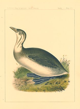 Poylimbus lineatus. Lineated Diver.[Vintage Pacific Railroad Survey Lithograph]. CALIFORNIA - DIVER