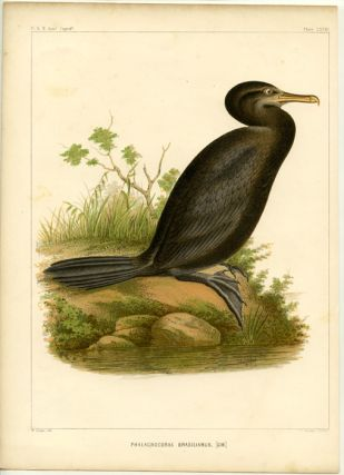 Phalacrocorax Brasilianus, [Gm.]. SOUTH AMERICA - U. S. NAVAL ASTRONOMICAL EXPEDITION