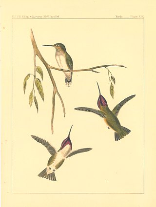 Atthis Costae, Reich.[Vintage Pacific Railroad Survey Lithograph]. HUMMINGBIRDS