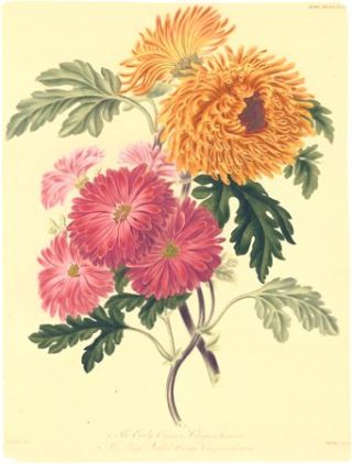 1. The Early Crimson Chrysanthemum. 2. The Large Quilled Orange Chrysanthemum. CHRYSANTHEMUM