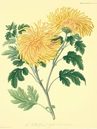 The Quilled-flamed yellow Chrysanthemum. CHRYSANTHEMUM.