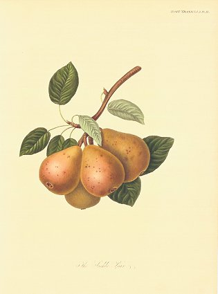 The Seckle Pear. PEAR