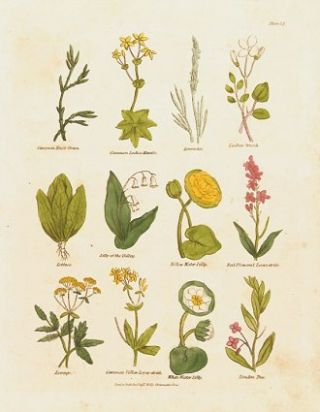 Common Knot Grass. Comon Ladies Mantle. Lavender. Ladies Smock. Lettuce. Lilly of the...