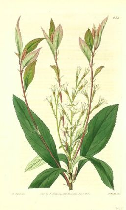 Raphiolepis salicifolia. Willow-leaved Raphiolepis. CHINA