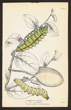 1. Caterpillar of S. Cynthia. 2. ___Do___of S. Mylitta. 3. Pedunculated cocoon of the latter....