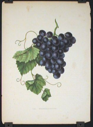 La Bruxelloise. (GRAPES
