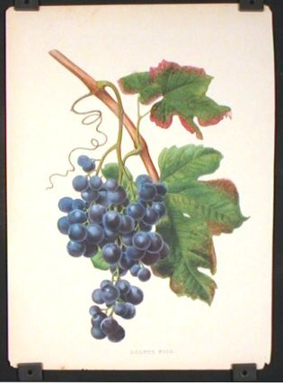 Dolutz Noir. GRAPES