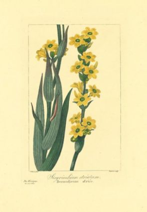 Sisyrinchium striatum. Bermudienne striee. MEXICO