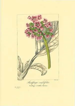 Saxifraga crassifolia. Saxifrage a feuilles charnues. SIBERIA