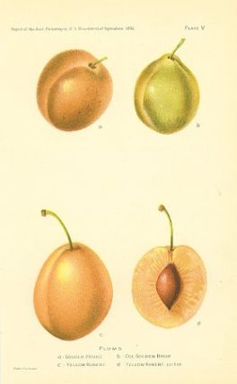 Plums. a - Golden Prune b - Coe Golden Drop c - Yellow Aubert d - Yellow Aubert, section. PLUMS