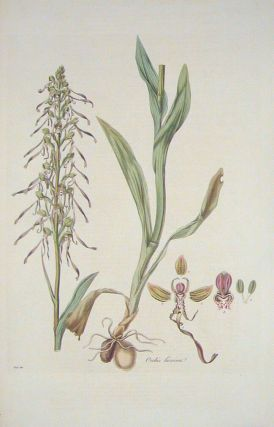 Orchis hircina. Lizard Orchis. [BRITISH ORCHID]. FLORA LONDINENSIS HANDCOLORED BOTANICAL ENGRAVING