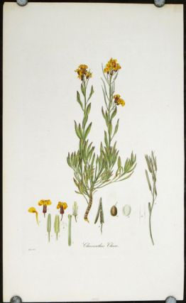 Cheiranthus Cheiri. Common Wall-Flower. FLORA LONDINENSIS HANDCOLORED BOTANICAL ENGRAVING