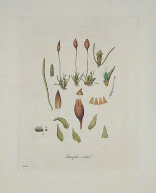 Tetraphis Ovata. Ovate-Fruited Tetraphis. FLORA LONDINENSIS HANDCOLORED BOTANICAL ENGRAVING