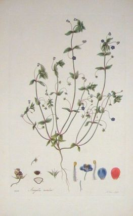 Anagallis Caerulea. Blue Pimpernel. FLORA LONDINENSIS HANDCOLORED BOTANICAL ENGRAVING
