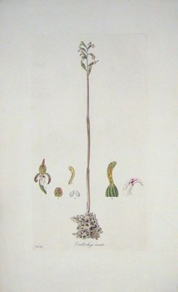 Corallorrhiza innata. Spurless Coral-Root. [BRITISH ORCHID]. FLORA LONDINENSIS HANDCOLORED...