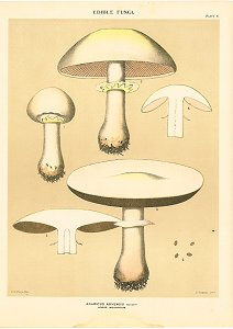 Edible Fungi. Acaricus Arvensis Schaeff Horse Mushroom. EDIBLE FUNGI OF NEW YORK