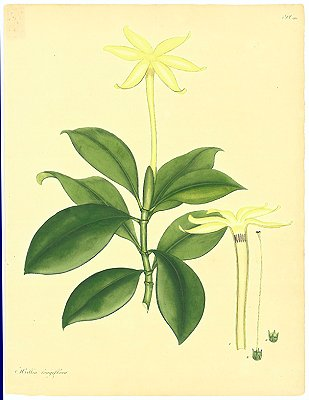 Hillia Longiflora. Long-flowered Hillia. EUROPE