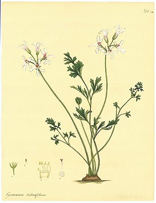 Geranium Bubonifolium. Macedonian-Parsley-leaved Geranium. SOUTH AFRICA
