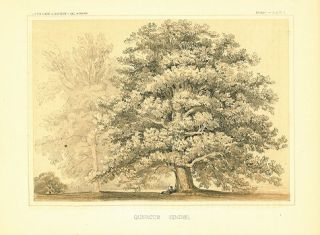Quercus Hindsii.[Vintage Pacific Railroad Survey Lithograph]. DECIDUOUS TREES